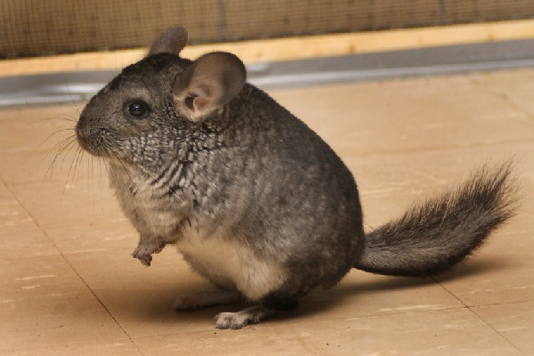 Can A Chinchilla Eat Hamster Food