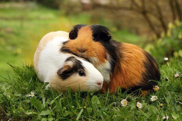 Can You Wash Guinea Pigs With Dog Shampoo
