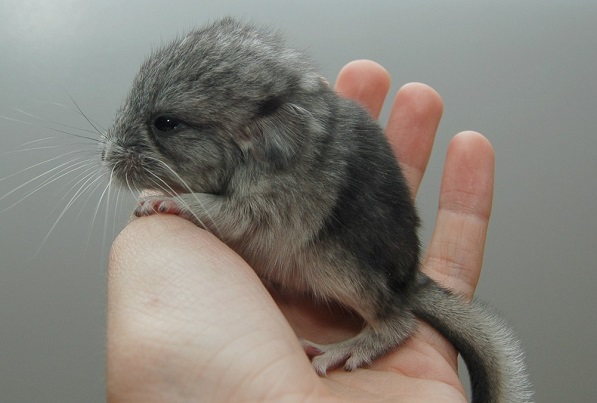 Chinchilla care - photo#55